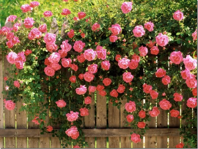 American Beauty Climbing Roses thumb Frumosul vine atunci cand nu il astepti